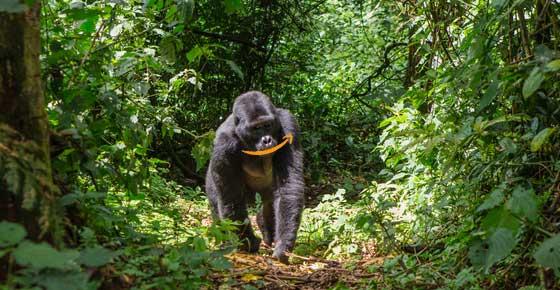 gorilla with amazon logo smile