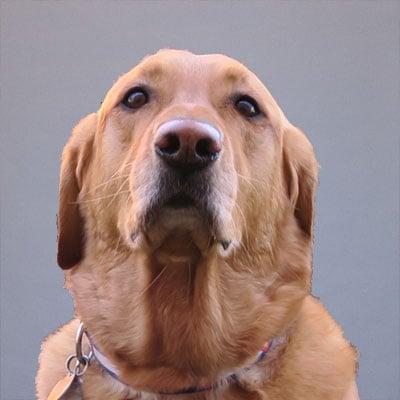 poli the dog profile with grey background