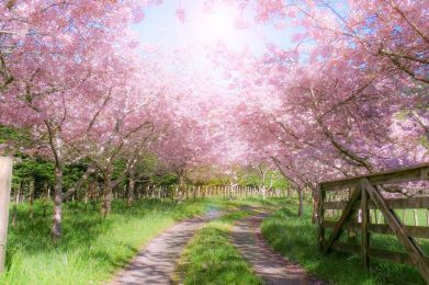 blooming orchard of pink trees