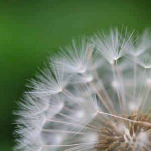 close close up of dandelion