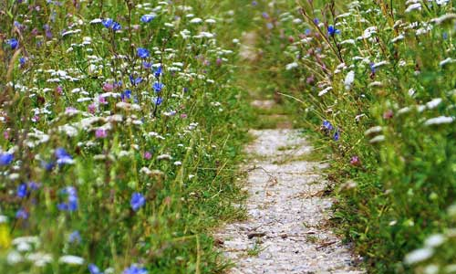 path through meadow of wildflowers
