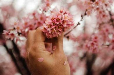 hand holding pink tree petals
