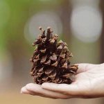 hand holding pinecone