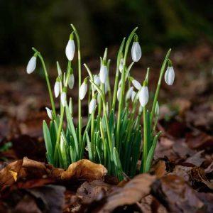 snowdrop flower budlings