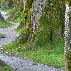 winding path with large trees