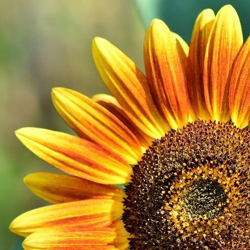 quarter sunflower 500